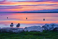 Ducks and Sunrise. Sunrise view at Port Gitana,, Switzerland Royalty Free Stock Photos