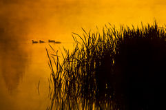 Ducks at sunrise Stock Image