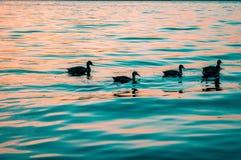 Ducks at sunrise Royalty Free Stock Photo