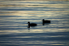 Ducks at Sunset. Two ducks on the lake at sunset Stock Photo