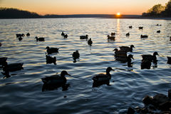 Ducks in a sunset Stock Photo