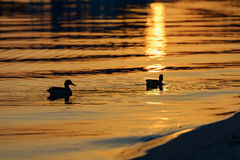 Ducks at sunset. In the city of Zaporozhye Stock Photos