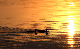 Ducks on the lake at sunset Stock Photo