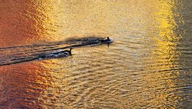 Ducks at Sunset Stock Image