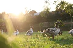 Ducks and the sunset. Ducks taking off from lake and in the sunset Royalty Free Stock Image