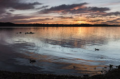 Ducks at sunset. Two mallards swimming in the sunset Royalty Free Stock Photos