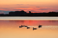 Ducks at Sunset, Ukraine Royalty Free Stock Photos