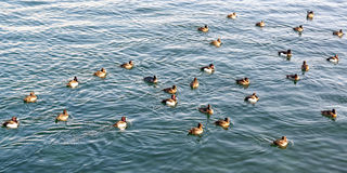 The ducks Royalty Free Stock Image