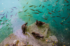Ducks surrounded by fish Royalty Free Stock Photos