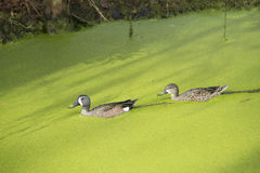 Ducks in Swamp Royalty Free Stock Images