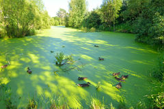 Ducks in the swamp. Group of swiming ducks in green morass Stock Photography