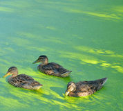 Ducks in the swamp. Group of swiming ducks in green morass Royalty Free Stock Photo