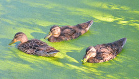 Ducks in the swamp. Group of swiming ducks in green morass Stock Photo