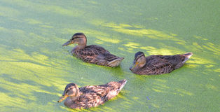 Ducks in the swamp. Group of swiming ducks in green morass Royalty Free Stock Image