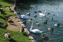 Ducks and swans Royalty Free Stock Images