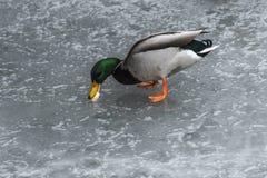 Ducks swans birds winter frozen lake ice Royalty Free Stock Images
