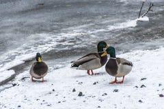 Ducks swans birds winter frozen lake ice Royalty Free Stock Image