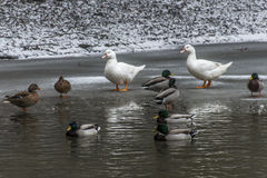 Ducks swans birds winter frozen lake ice Royalty Free Stock Photo