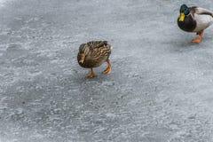 Ducks swans birds winter frozen lake ice Stock Photos