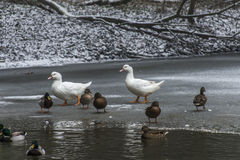 Ducks swans birds winter frozen lake ice Royalty Free Stock Image