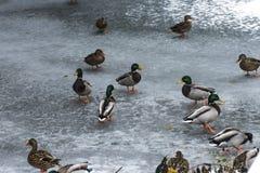 Ducks swans birds winter frozen lake ice Stock Photo