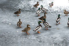 Ducks swans birds winter frozen lake ice Royalty Free Stock Photography