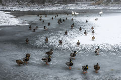 Ducks swans birds winter frozen lake ice Royalty Free Stock Images