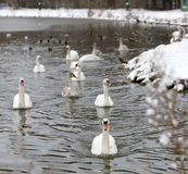 Ducks and swans on frozen lake Royalty Free Stock Image