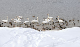Ducks and swans. Group of birds no the water Royalty Free Stock Image