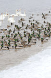 Ducks and swans. Group of birds no the water Stock Image