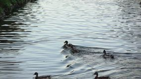 Ducks and swans in the pond stock footage