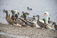 Ducks and swans in the river Royalty Free Stock Photography