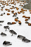 Ducks and swans on snow. At nonfreezing small river Stock Image