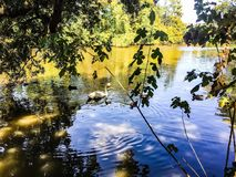Ducks and swans swimming in a pond Royalty Free Stock Image