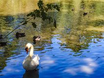 Ducks and swans swimming in a pond. Ducks, swans and geese swimming in a swamp river Royalty Free Stock Photo