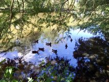 Ducks and swans swimming in a pond. Ducks, swans and geese swimming in a swamp river Stock Image