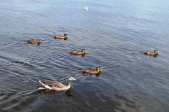 Duck. S swim across the lake Royalty Free Stock Images