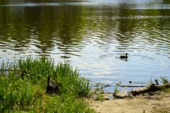 Ducks swim on a beautiful lake royalty free stock photography
