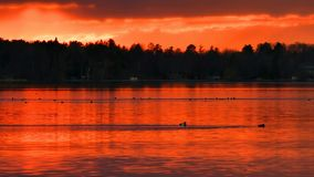Ducks Swim in a Beautiful Lake at Sunset. In Bemidji Minnesota stock footage