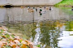Ducks swim in the canal Stock Photos