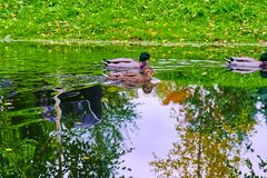 Ducks swim in the canal Stock Photography