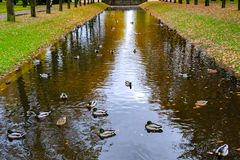 Ducks swim in the canal Royalty Free Stock Image