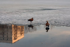 Ducks swim in the city pond in the winter. Royalty Free Stock Image