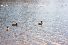 Ducks swim on a day. Ducks swim on a sunny day royalty free stock photo