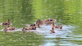 Ducks swim. Ekaterinburg, Russia. Royalty Free Stock Photography