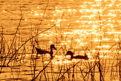 Ducks swim in the evening Royalty Free Stock Photos