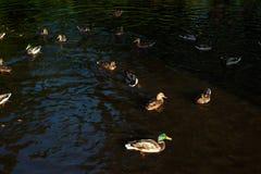 Ducks swim and frolic Stock Photo