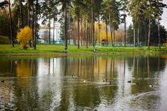 Ducks swim in the lake Stock Photos