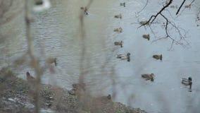 Ducks swim in the lake. Autumn. Ducks swim  in the lake Autumn stock video