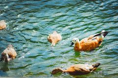Ducks swim in the lake and get food in the water. royalty free stock photography